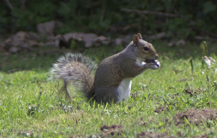 Conway Park Squirrel